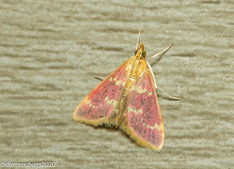 Grass moth, most likely a Raspberry Pyrausta, Pyrausta signatalis (Crambidae) from Iowa.