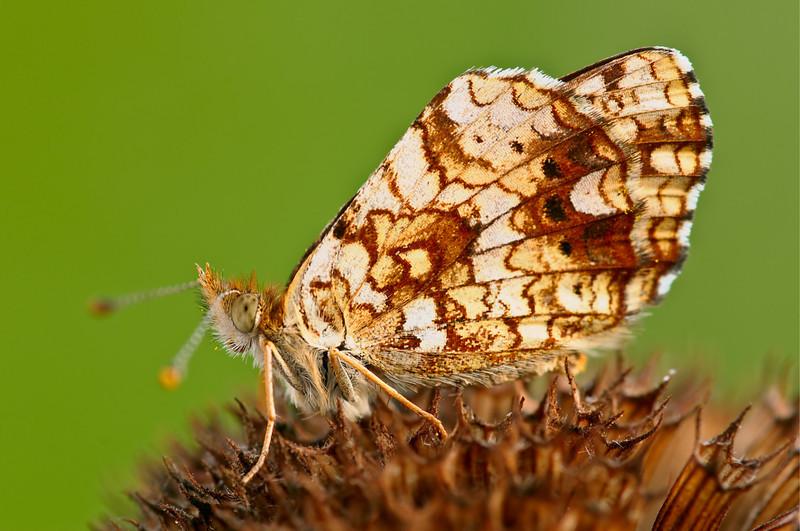 Butterfly Mylitta Crescentspot