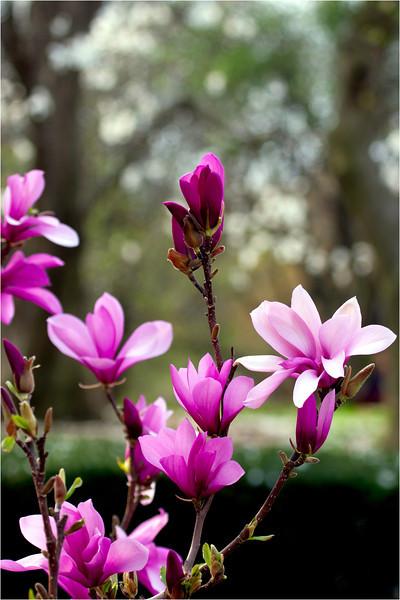 20120323_magnolia_02.jpg