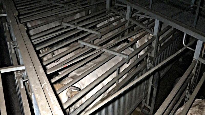 couloir-de-la-mort-abattoir-mauleon.jpg