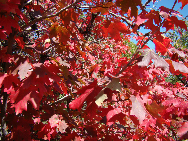 Fall Maples, the color of red, Snow Basin Utah.