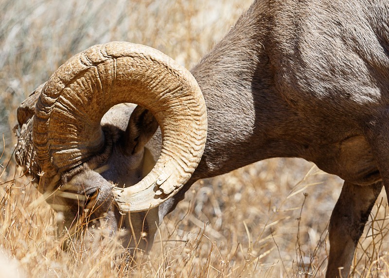 desert sheep eating.jpg
