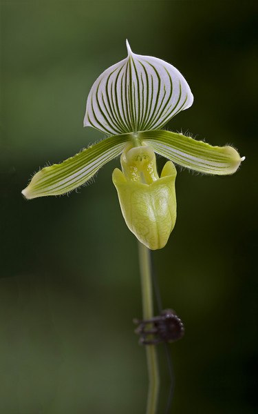 Paph. Orchid, 7 images, Big foot F4 Modified by CombineZP