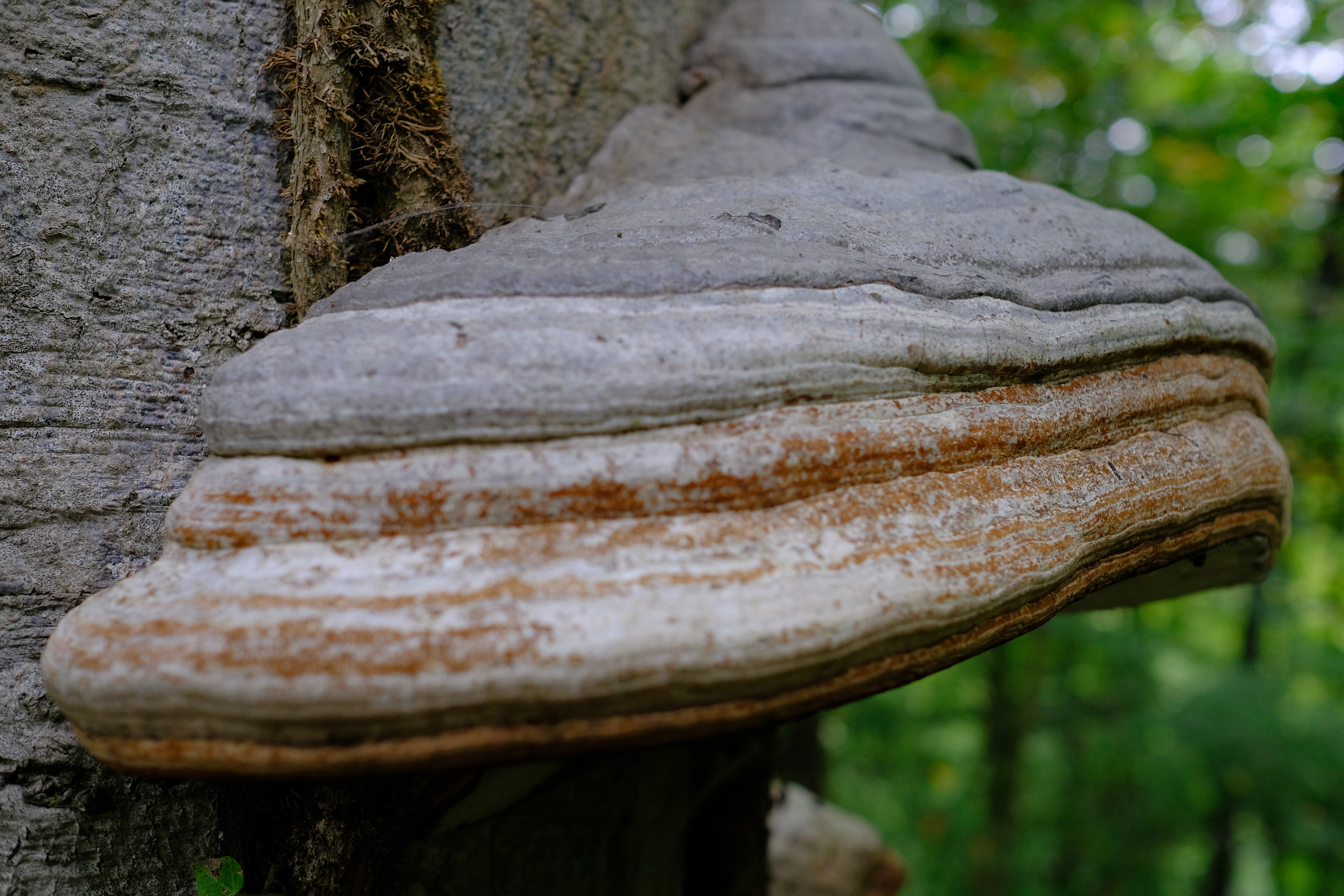 Timder fungus on a tree