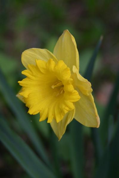 139 Daffodil 2.jpg