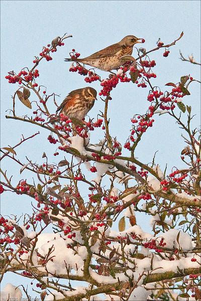 """""""That was mine"""" said the Redwing  . . . .  """"I want never gets"""" replied the Fieldfare loftily"""