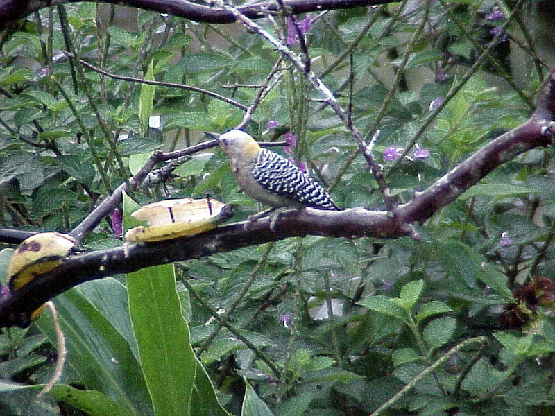 Hoffmans Woodpecker female at Rancho Naturalista Costa Rica 2-13-03 (50898160)