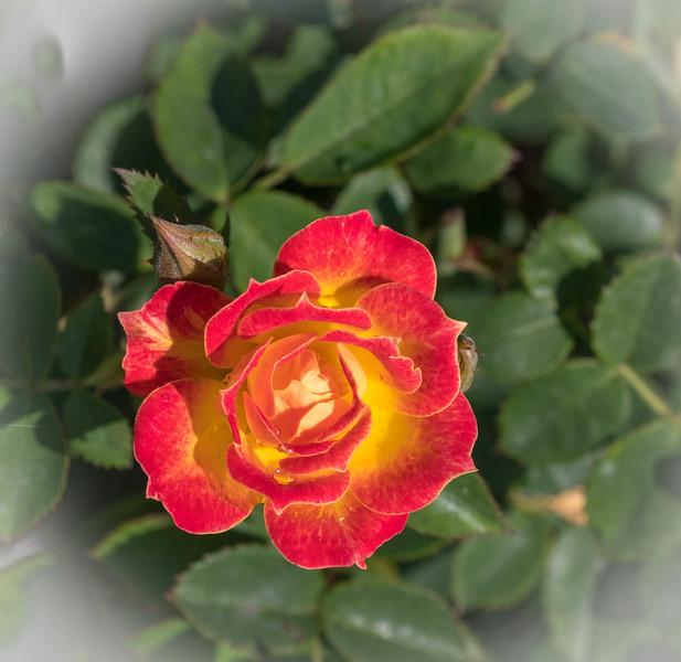 Rose Garden 8.2018-0805.jpg