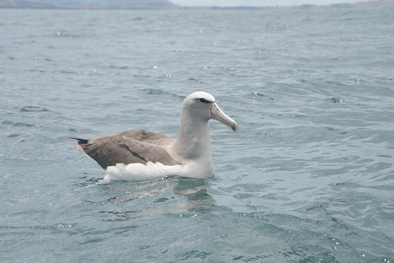 Salvin's Albatross Kaikoura, NZ December, 2010 IMG_8632