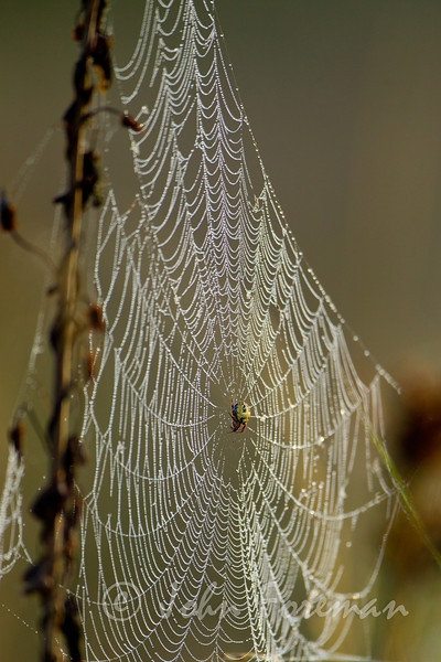 Orb Spiders