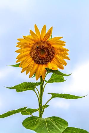 Kohler Farms Sunflowers 2020