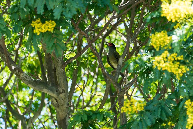 Australasian Figbird (Male)