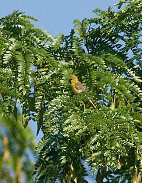 1st Year Male Orchard Oriole