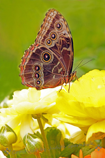 Blue Morpho ~ This beautiful butterfly is a gorgous turquoise blue on the upper wings; it virtually never sits with its wings open to show the blue.  The underside of the wings has this intricate pattern.  It was photographed at San Diego Safari Park.
