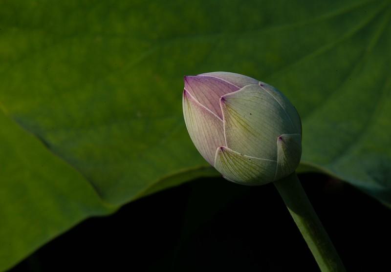 lotus water lilies-3184.jpg