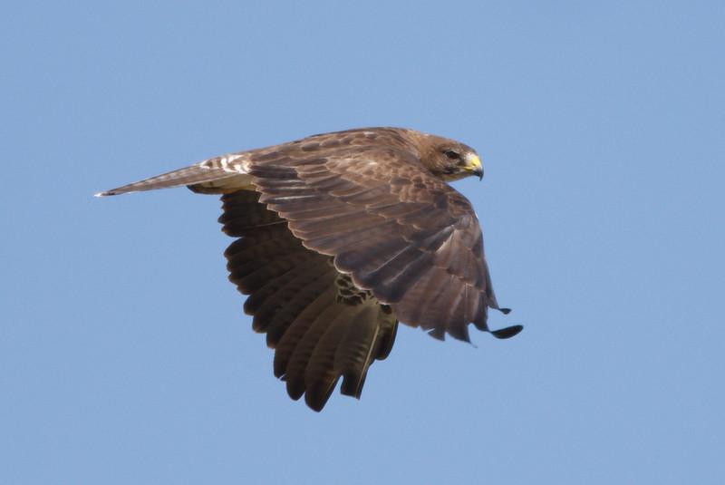 Swainson's Hawk intermediate morph adult (1) at Firebaugh, CA (07-18-2009)