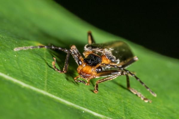 Soldier beetles (Cantharidae)