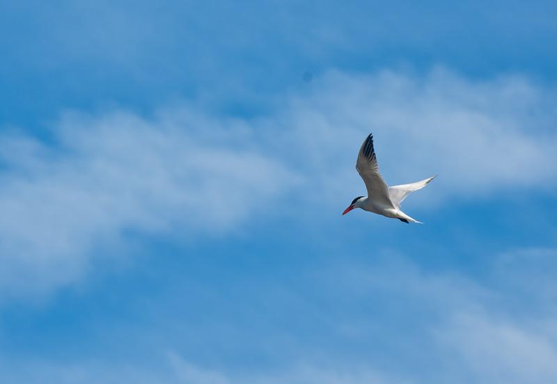 Caspian Tern.jpg