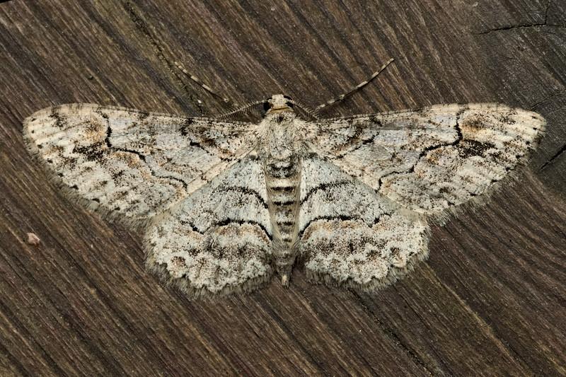 Iridopsis emasculatum Moth