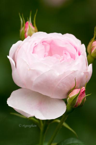 Flowers_Rose-Pink_3478.jpg