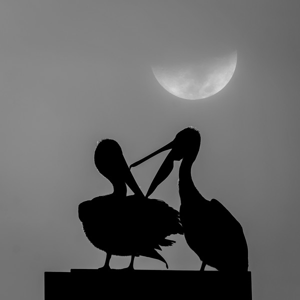 b&w pelicans in moonlight.jpg