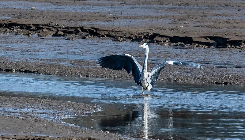 Heron-11.jpg
