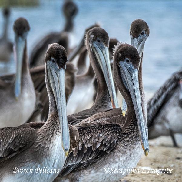 _DSC5960PBrown Pelican Beaks.jpg