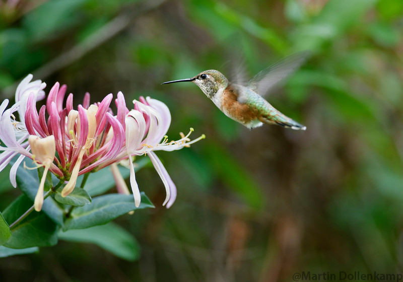 Rufous Hummingbird and Honeysuckle