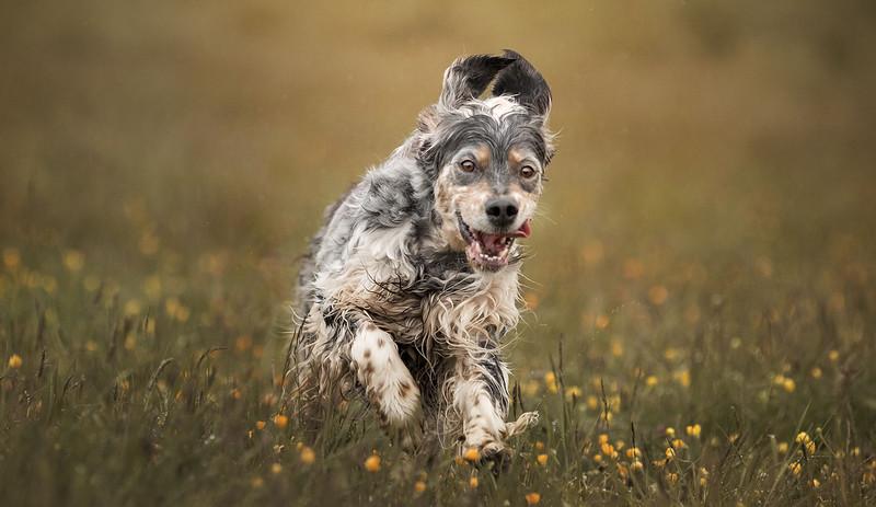 show-dog-website-english-setters-scaled.jpeg