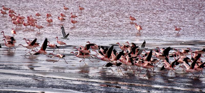 BOL_2675-Flamingos in Flight.jpg