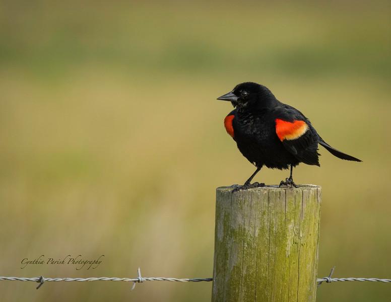 RedWingedBlackbird_LagowRanch_664A7163.jpg