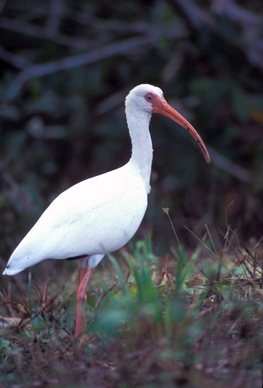 white bird standing in the marsh