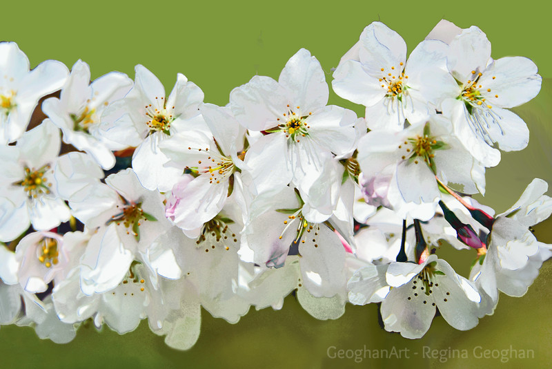 White Cherry Blossoms on Green
