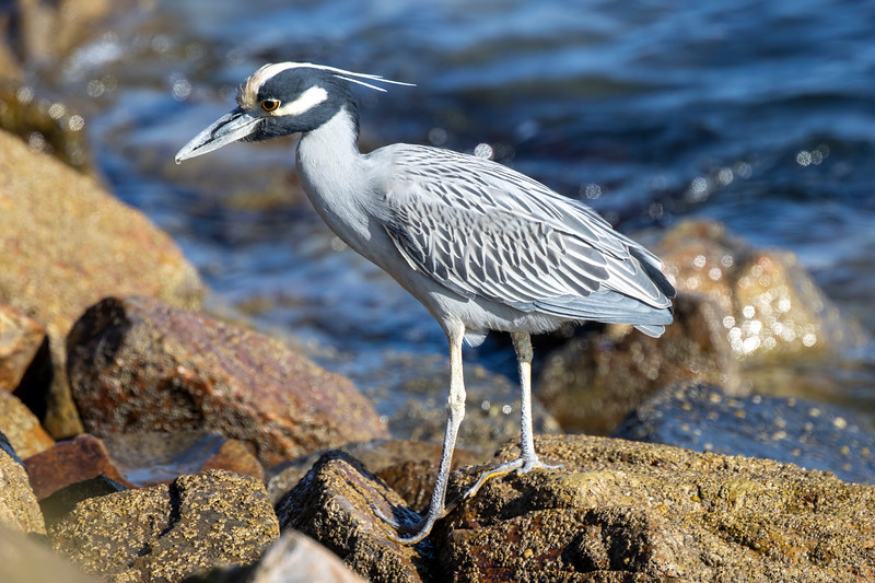 Yellow_Crowned_Night_Heron_AL3I2475.jpg