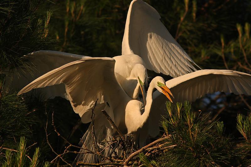 Egrets mating, Santa Rosa CA