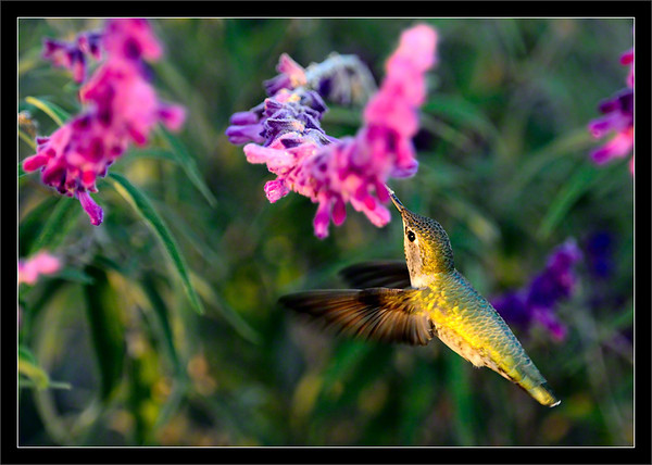 Anna's Hummingbird at Sunset  An Anna's hummingbird zips around and feeds on a string of flowers.  The the last light from the setting sun filters through the surrounding bushes.  Shoreline Park Mountain View, California  22-OCT-2011
