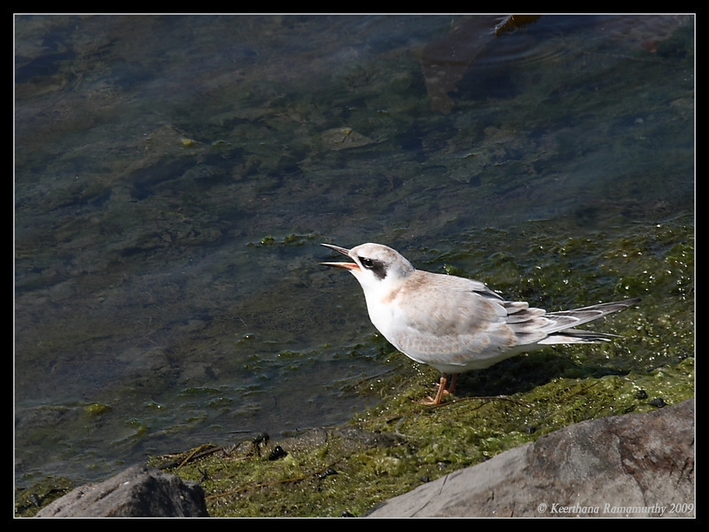 Juvenile Forster's Tern calling for food from its parent, Robb Field, San Diego County, California, August 2009