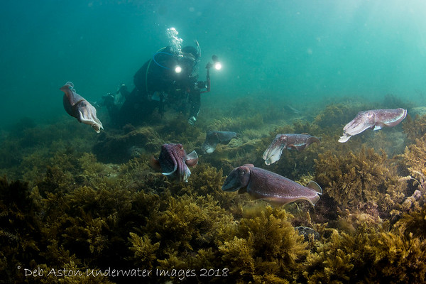 Whyalla, South Australia - Giant Cuttlefish