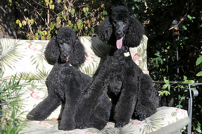 Dancing poodles