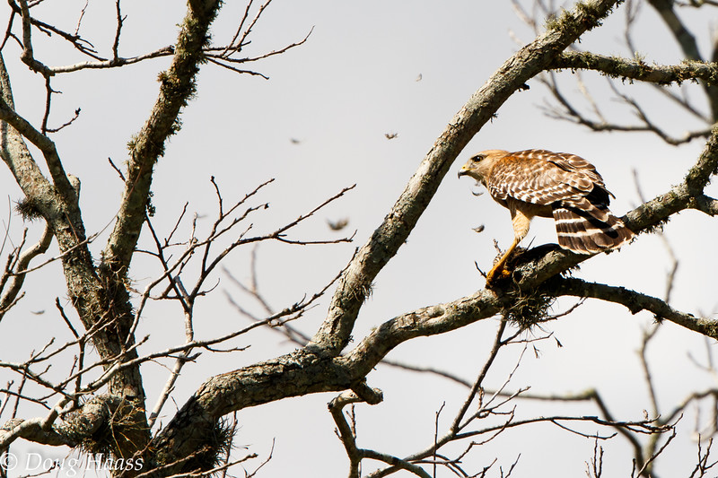 Red-shouldered Hawk Buteo lineatus with female Red-winged Blackbird in its talons