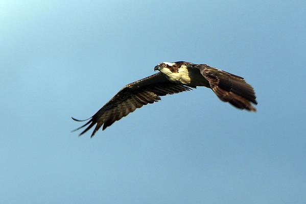 Osprey Florida 4/09