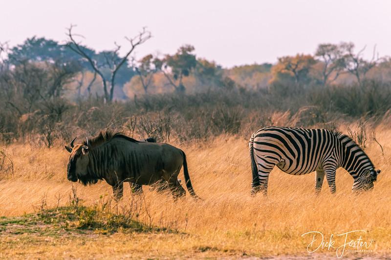 Wilderbeest and Zebra Grazing