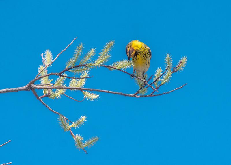 Cape May Warbler warbler wave Moose Lake Sewage Ponds road Carlton County MN  P1066754.jpg