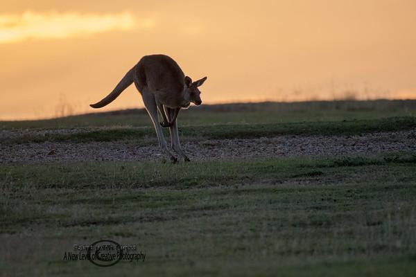Kangaroos , Koalas & more