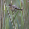 Rørsanger / Eurasian Reed-Warbler <br /> Linnesstranda, Lier 24.5.2005<br /> Canon EOS 20D + EF 200 mm 2,8 + Extender 1,4 x