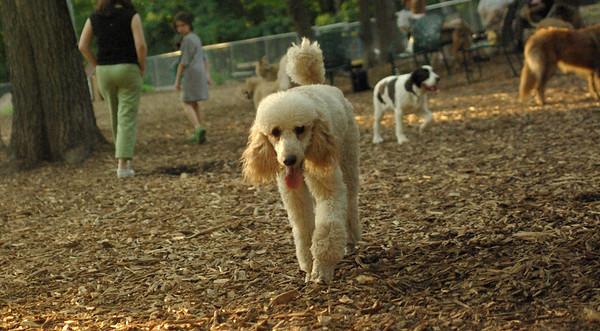 PICS JUNE 13::LUCY , ETHEL (poodle)
