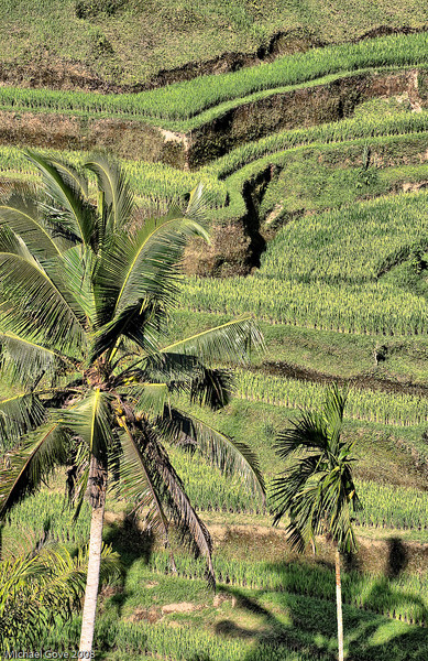 Rice field terraces, Bali