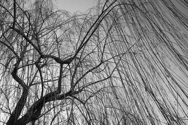 Weeping Willow - Madonna dell'Uliveto, Albinea, Reggio Emilia, Italy - February 3, 2013