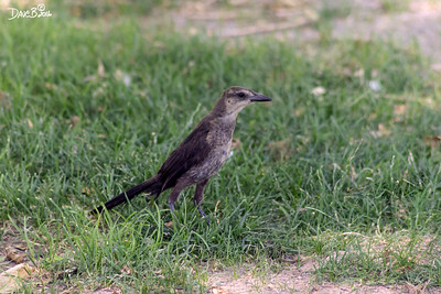 GREAT TAILED GRACKLE JUVENILE