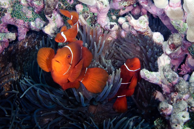 Spine Cheeck Anenome Fish 4.jpg